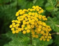 Tanacetum vulgare Tansy 200 Seeds, Wild Flower, Perennial, Insect repellent